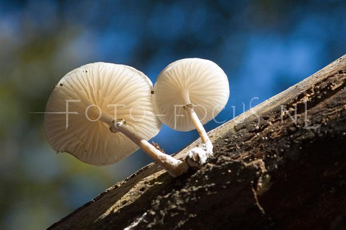Oudemansiella mucida  - Porseleinzw1