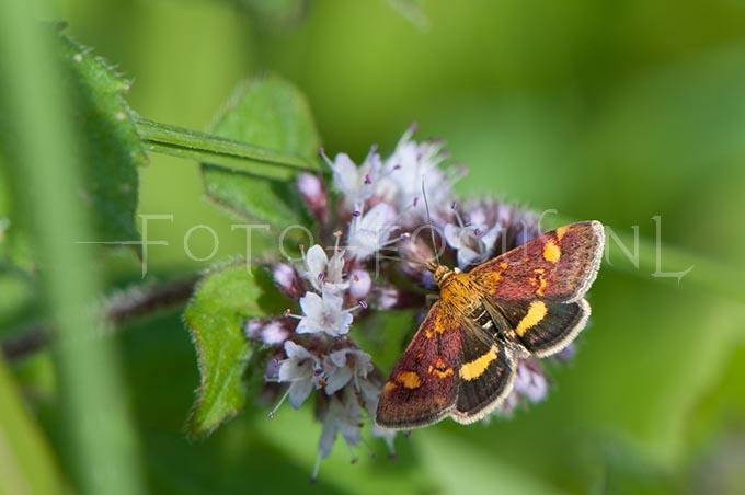Pyrausta aurata - Muntvlinder