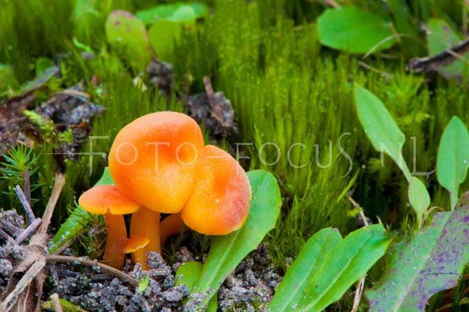 Hygrocybe miniata - Gew. vuurzw2