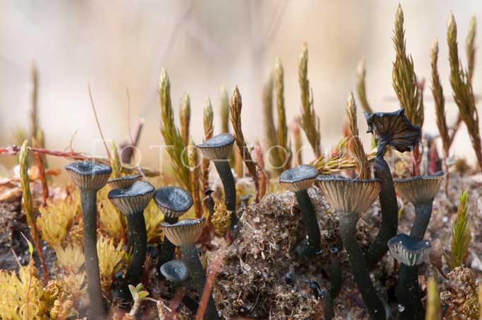 Omphalina clorocyanea- Blauwgroen trechtertje1