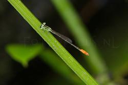 Agriocnemis pygmaea - male