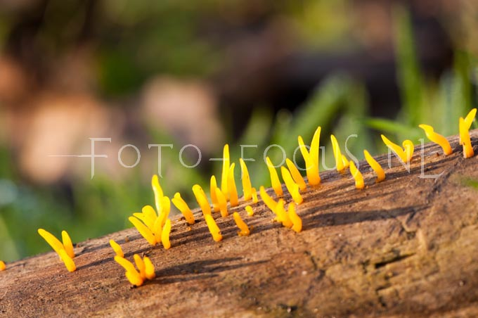 Calocera cornea - Geel hoorntje