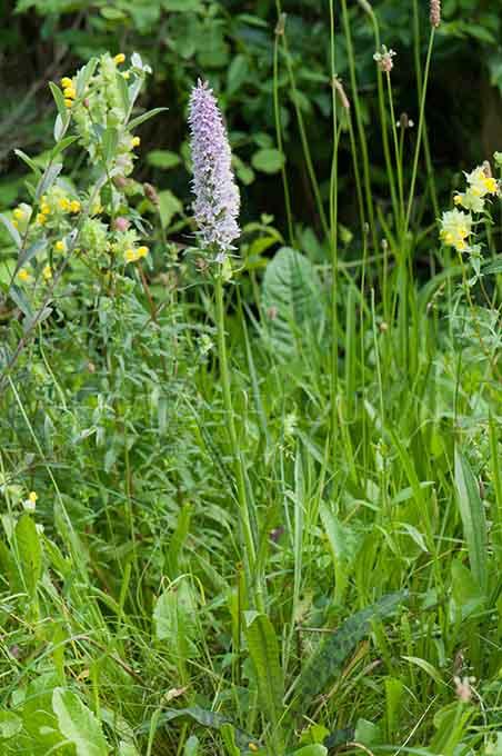 Dactylorhiza maculata ssp fuchsii - Bosorchis1