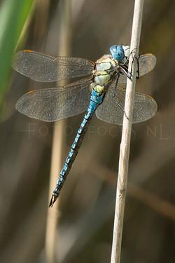 Aeshna affinis - Zuidelijke glazenmaker2 - male