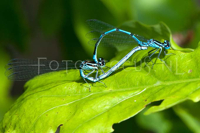 Coenagrion puella - Azuurwaterjuff.3-copula