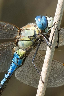 Aeshna affinis - Zuidelijke glazenmaker3 - male