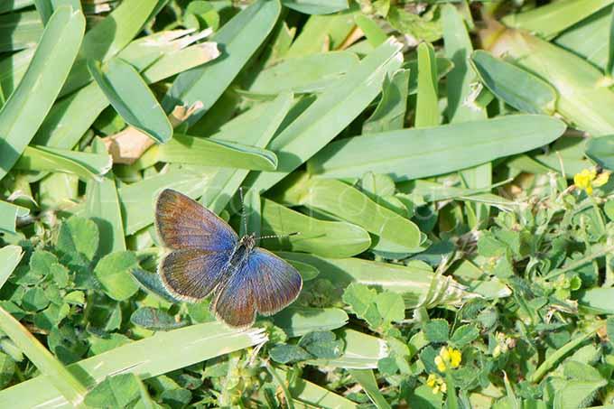 Zizeeria knysna - Ametistblauwtje -male