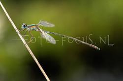 Chalcolestes viridis - Houtpantserjuff.2 -male
