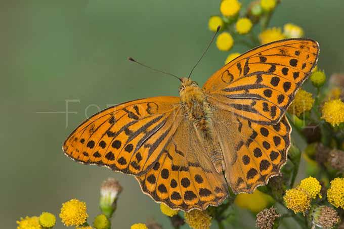 Argynnis paphia - Keizersmantel3- male