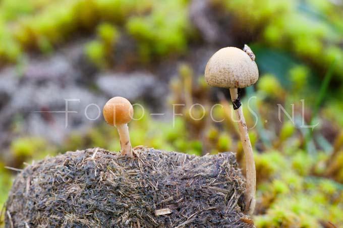 Panaeolus fimiputris - Geringde vlekplaat