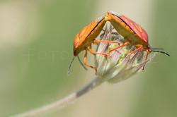 Carpocoris purpurreipennis - Knoopkruidschildwants -Copula