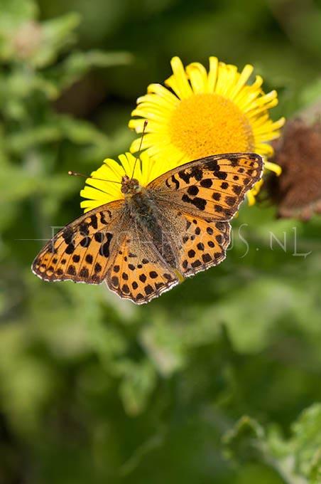 Issoria lathonia - Kleine parelmoervlinder1 male