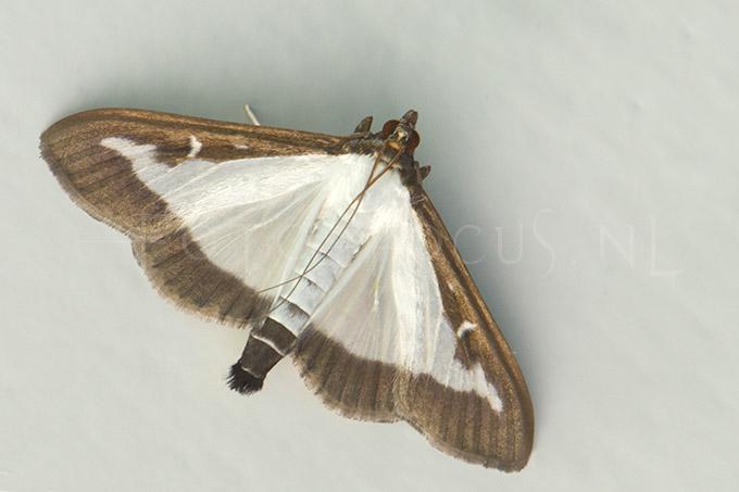 Cydalima perspectalis - Buxusmot1