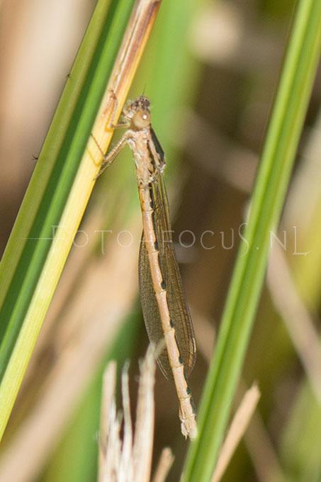 Sympecma paedisca - Noordse winterjuff.1 -female