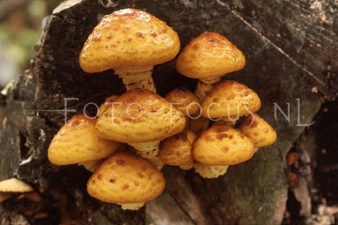 Pholiota adiposa - Goudvliesbundelzw2