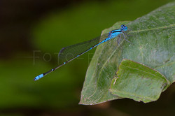 Pseudagrion microcephalum - male1