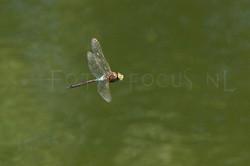 Anax parthenope - Zuidelijke keizerlibel