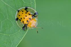 Aspidomorpha miliaris - Bladhaantje