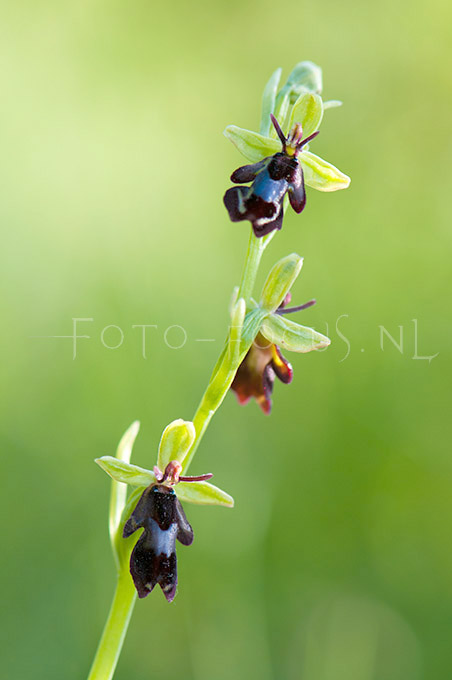Ophrys insectifera - Vliegenorchis2