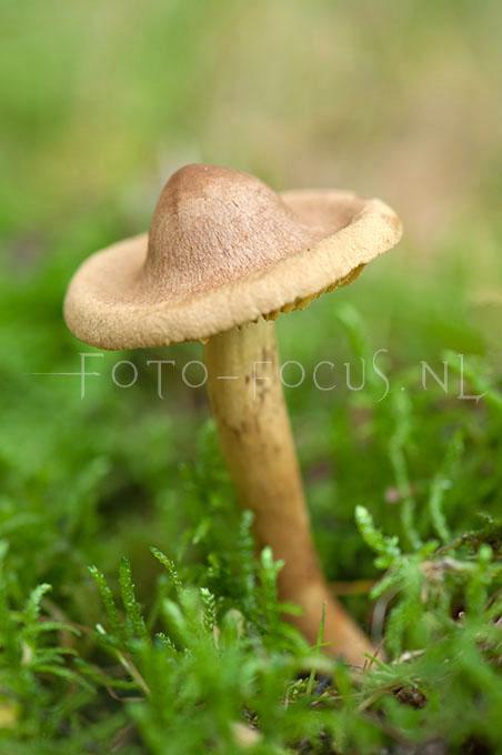 Cortinarius croceus - Geelplaatgordijnzw1