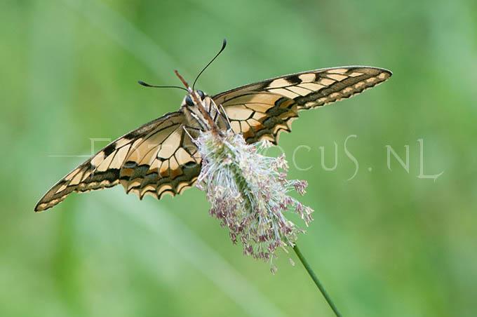 Papilio machaon - Koninginnepage4
