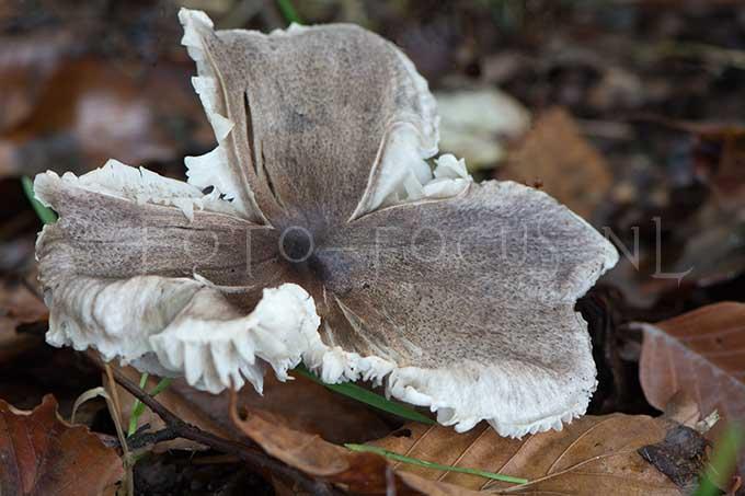 Tricholoma sciodes - Bitterscherpe ridderzw2