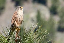 Falco tinnunculus - Torenvalk -male