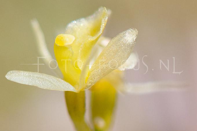 Liparis loeselii - Groenknolorchis3