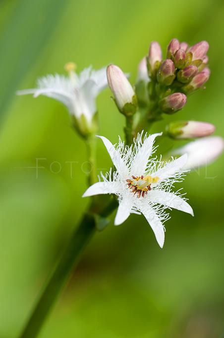 Menyanthes trifoliata - Waterdrieblad