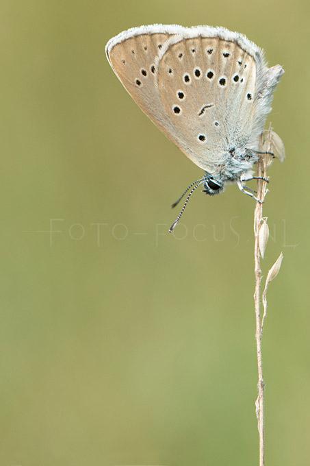 Phengaris teleius - Pimpernelblauwtje 5 -male