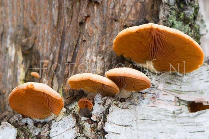 Phyllotopsis nidulans - Oranje oesterzw1