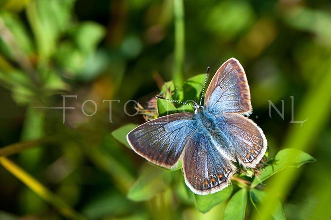 Polyommatus icarus - Icarusblauwtje1 -female