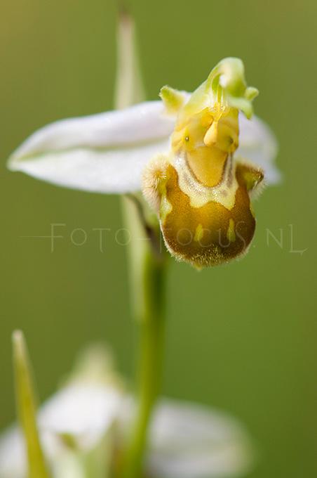 Ophrys apifera (var.) Bijenorchis4