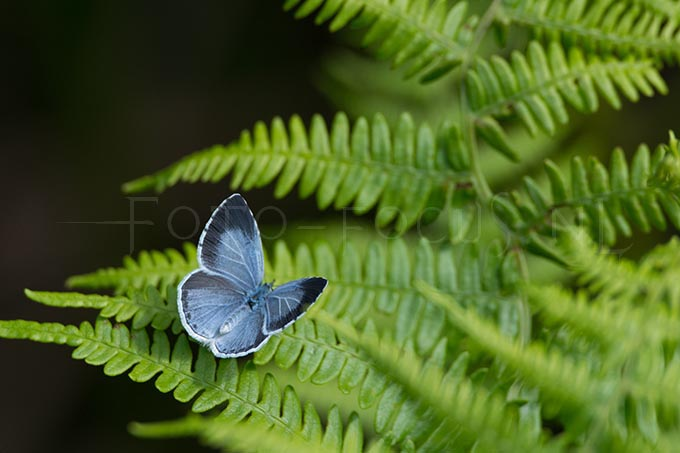 Celastrina argiolus - Boomblauwtje1 -female