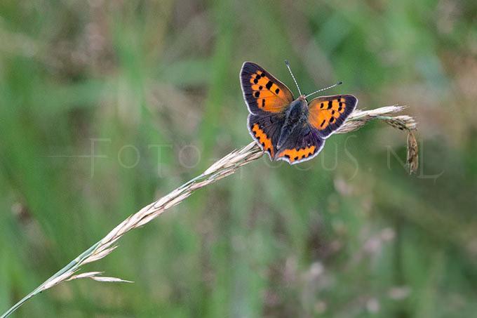 Lycaena phlaeas - Kleine Vuurvlinder 1 -male