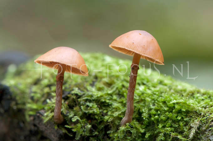 Galerina autumnalis - Kraag mosklokje