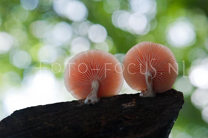 Rhodotus palmatus 1 - Zalmzw