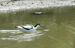Recurvirostra avosetta - Kluut3