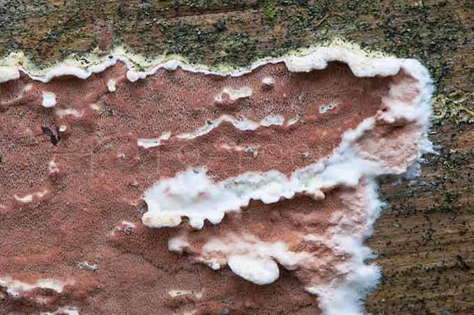 Meruliopsis taxicola - Rode plakkaatzw1
