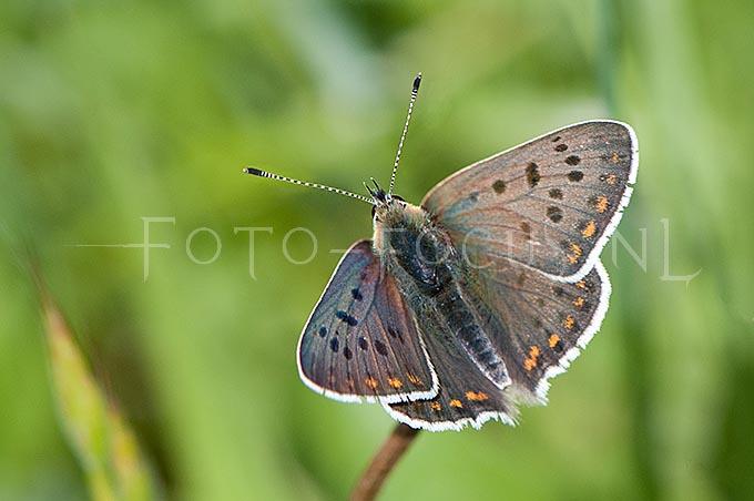 Lycaena tityrus - Bruine vuurvlinder