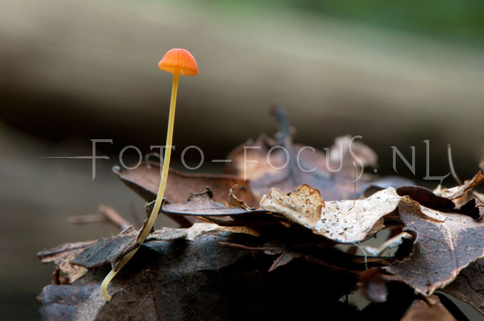 Mycena acicula - Oranje dwergmycena1