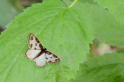 Lomaspilis marginata - Gerande spanner