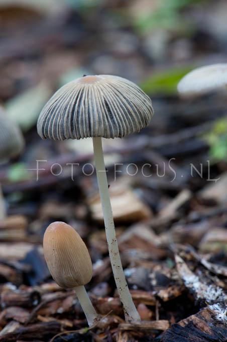 Coprinus plicatius - Plooirokje