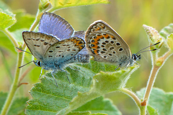 Plebejus argus - Heideblauwtje -Copulla