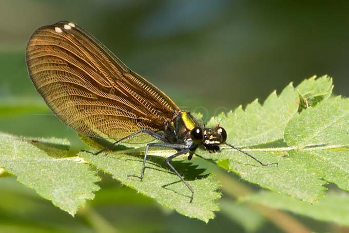 Calopteryx virgo - Bosbeekjuff.1 -female