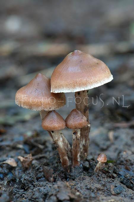 Cortinarius decipiens - Siersteelgordijnzw1