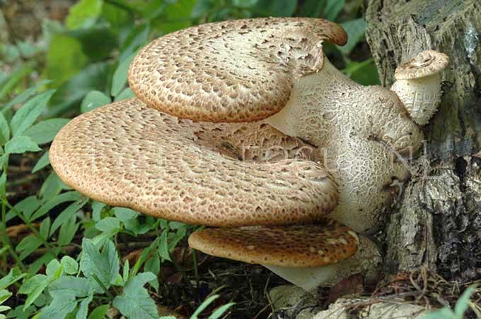 Polyporus squamosus - Zadelzw