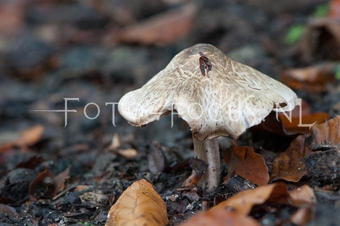 Inocybe corydalina var. erinaceomorpha - Schubbige perenvezelkop