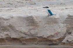 Todiramphus chloris - Witkraagijsvogel 1