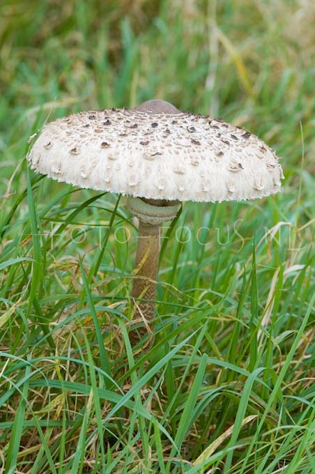 Macrolepiota procera - Grote parasolzw